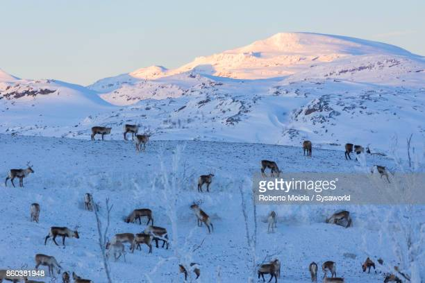 herd of reindeer, lapland, sweden - swedish lapland stock photos and pictures