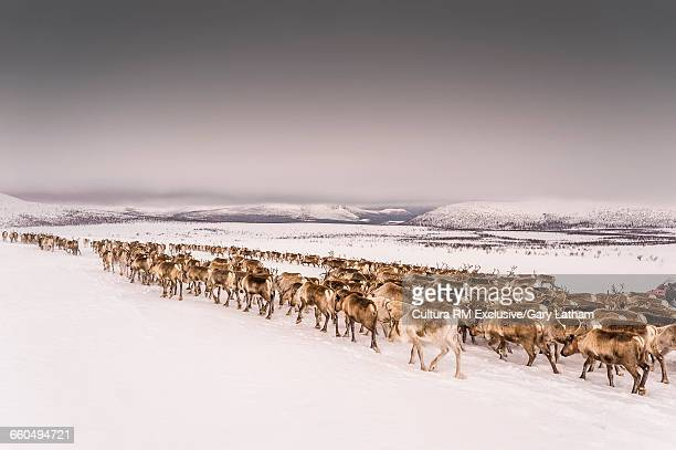 Herd of reindeers on snow covered landscape, Lapland, Sweden