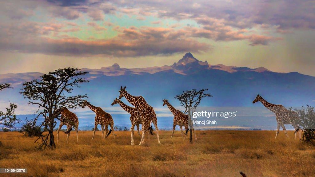 Herd of Reticulated giraffes in front of Mount Kenya : Stockfoto
