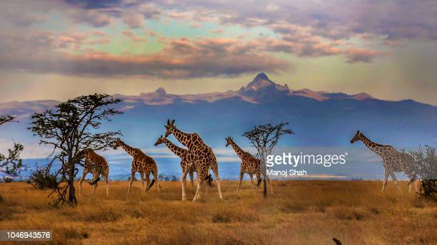 herd of reticulated giraffes in front of mount kenya - kenia fotografías e imágenes de stock