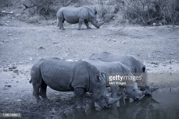 herd of rhinoceros drinking at waterhole, botswana. - nature reserve stock pictures, royalty-free photos & images