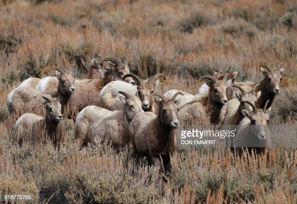 A herd of Rocky Mountain bighorn sheep walk through a field of sage brush February 15 2018 in Almont Colorado The sheep named for it's curling horns...