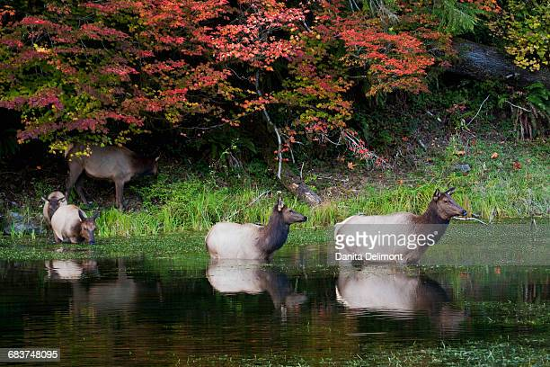 herd of roosevelt elks (cervus canadensis roosevelti), olympic national park, washington state, usa - olympic park stock pictures, royalty-free photos & images