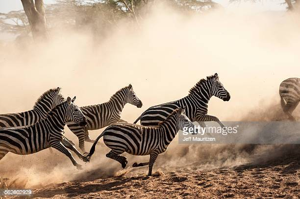 A herd of running zebra in the Serengeti.