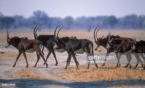 herd of sable antilope - palanca negra imagens e fotografias de stock