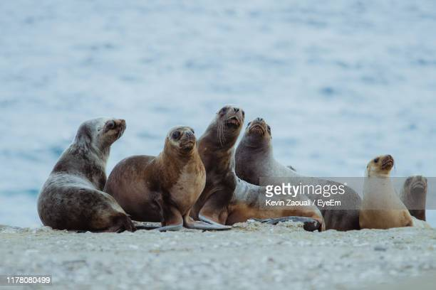 herd of seals on seashore - medium group of animals stock pictures, royalty-free photos & images