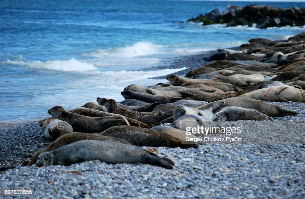 herd of seals resting at beach - helgoland stock pictures, royalty-free photos & images