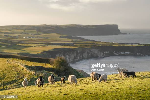 herd of sheep and goats standing in field at sunset with sea background and rolling hills - county antrim stock pictures, royalty-free photos & images