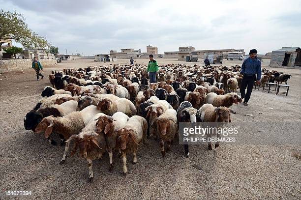 A herd of sheep are brought to market on the outskirts of the northern Syrian city of Aleppo on October 24 to celebrate upcoming Muslim feast of Eid...