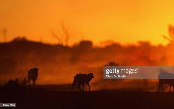 A herd of sheep at Teryanynia Station on October 21 2002 in Wilcannia New South Wales Australia Inland areas of Australia are suffering from one of...