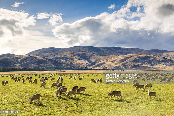 Herd of sheep, Canterbury, New Zealand