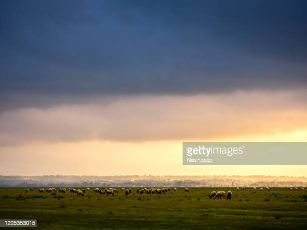 herd of sheep grazing in normandy, france - cotentin photos et images de collection