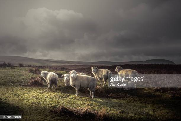 herd of sheep grazing in the wild with thick coats, with distant hills and dark moody sky - ovino foto e immagini stock