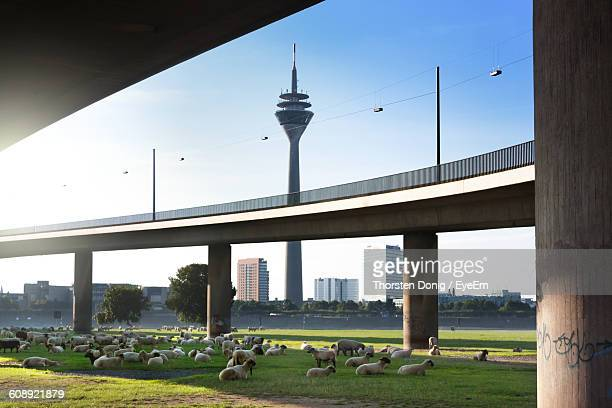 Herd Of Sheep Grazing On Field Under Bridges In City
