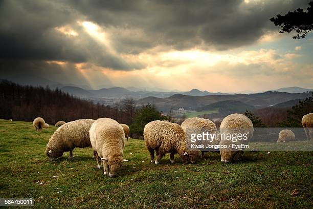 Herd Of Sheep Grazing On Hill