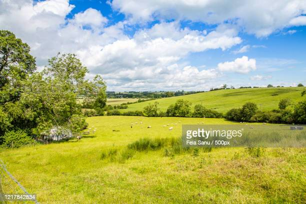 herd of sheep in pasture, farthinghoe, northamptonshire, uk - northamptonshire stock pictures, royalty-free photos & images