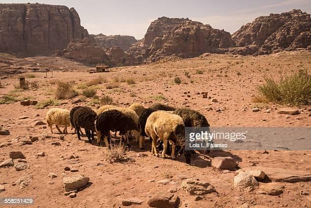 Herd of sheep in Petra