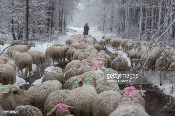 Herd of sheep in snowy forest