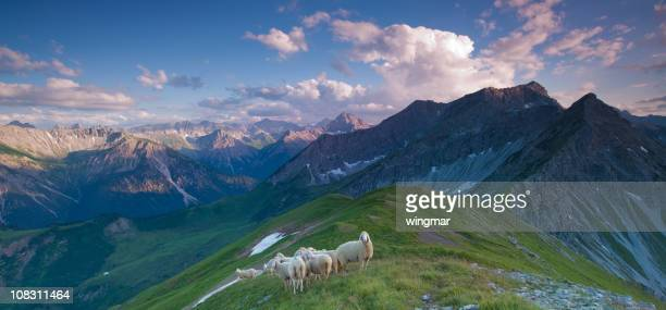 Rebaño de oveja en los Alpes lechtaler