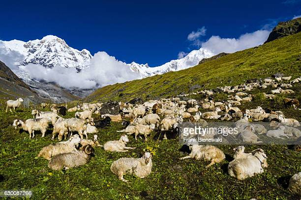 Herd of sheep is resting on a meadow, the snow covered Annapurna 1 North Face and the Annapurna South summit in the distance.