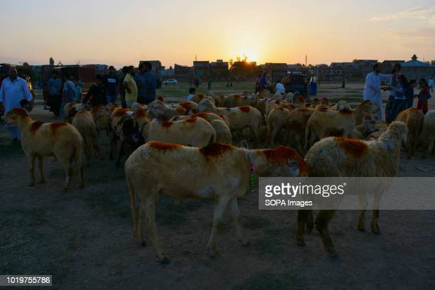 A herd of sheep is seen kept for sale for the upcoming Muslim festival All around the world Muslims celebrate EidulAdha or the festival of sacrifice...