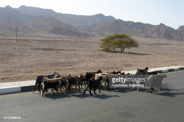 a herd of sheep near nuweiba settlement, sinai, egypt - argenberg fotografías e imágenes de stock