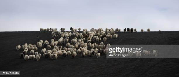Herd of sheep on black sands.