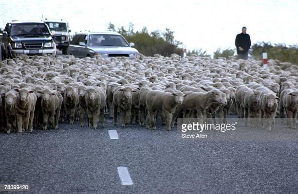 Herd of sheep on road, New Zealand