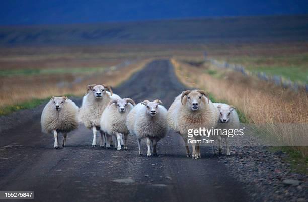 Herd of sheep on road.