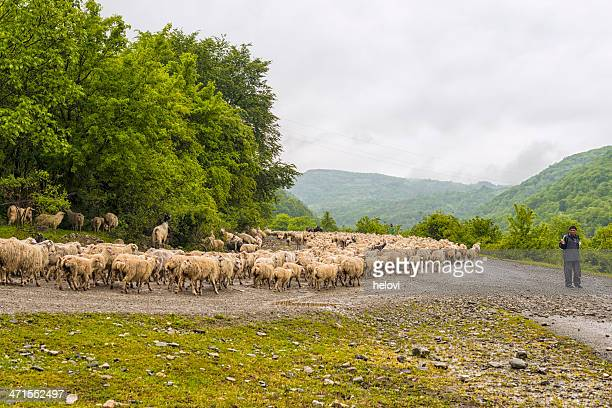 Herde von Schafen