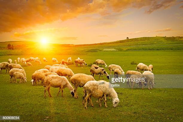 herd of sheep - sheep stock pictures, royalty-free photos & images