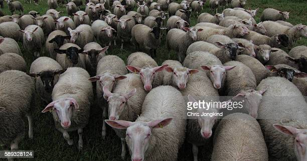 herd of sheep - gillingham stock pictures, royalty-free photos & images
