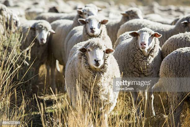 herd of sheep - sun valley idaho stock photos and pictures