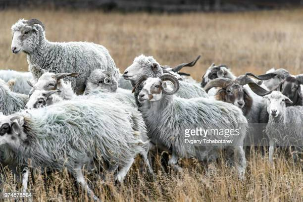 herd of sheep, tibet, china - animais machos - fotografias e filmes do acervo
