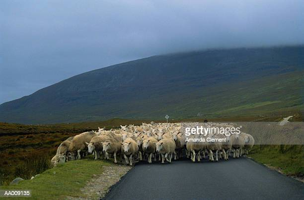 Herd of Sheep Walking up a Road in Scotland