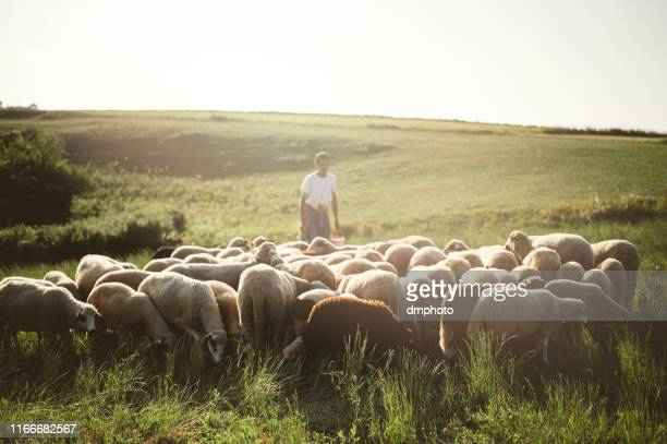 herd of sheep's in summer - shepherd stock pictures, royalty-free photos & images
