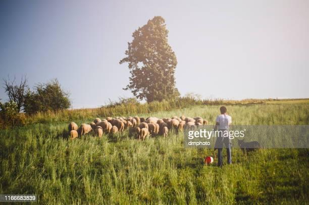 rebaño de ovejas en verano - eden pastora fotografías e imágenes de stock