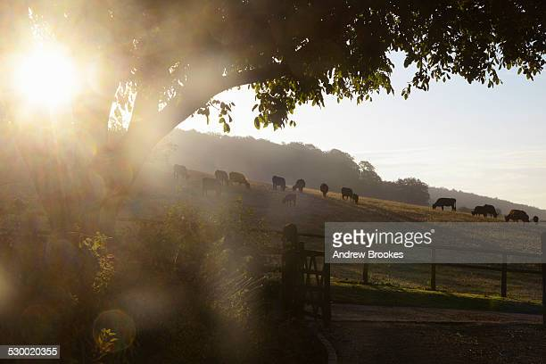 Herd of silhouetted cows grazing on hillside at sunrise