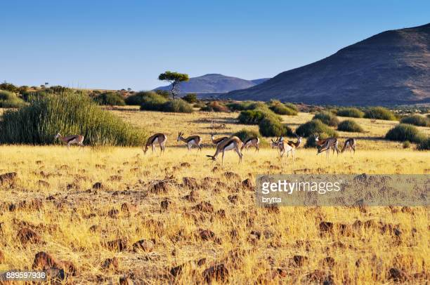 herd of springbok in damaraland ,namibia - springbok stock photos and pictures