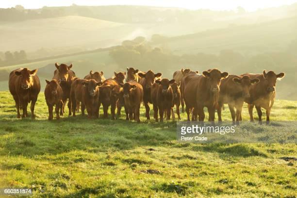 herd of stabiliser cows in field - 動物の一団 ストックフォトと画像