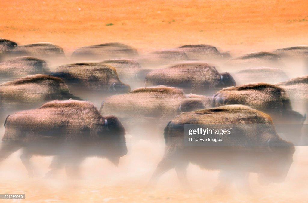 Herd of stampeding bison