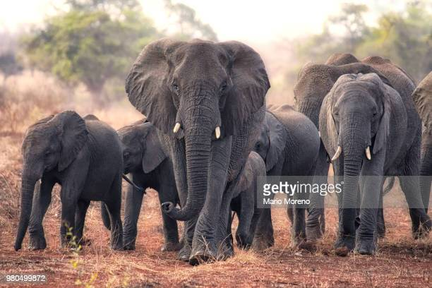 herd of walking elephants, south africa - south africa stock pictures, royalty-free photos & images
