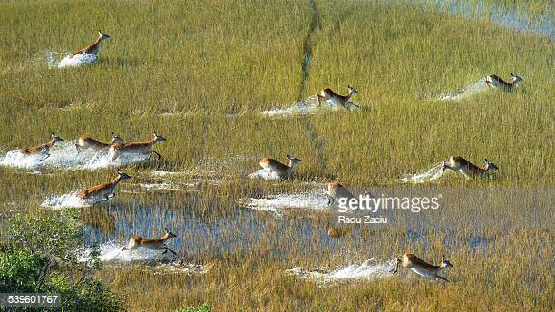Herd of Water Antelopes crossing the flooded plain