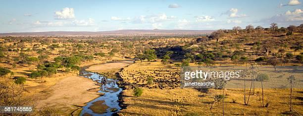 herd of water buffalo grazing at tarangire national park panorama, manyara, tanzania - tarangire national park stock pictures, royalty-free photos & images