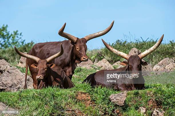 Herd of Watusi / AnkoleWatusi / Ankole longhorn cows with distinctive horns breed of Sanga cattle