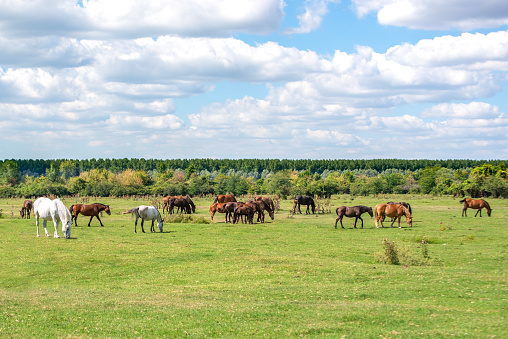 Herd of white and brown horses grazing freely on a wide green meadow. 1272435526