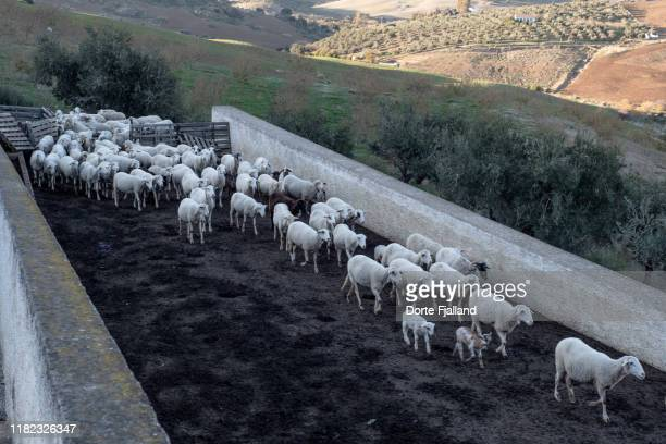herd of white sheep in an enclosure - dorte fjalland stock-fotos und bilder