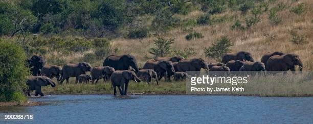 A herd of wild African elephants pass along the shoreline of a lake in Pilanesberg National Park, South Africa.