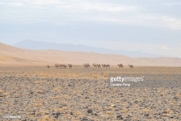 A herd of wild Bactrian camels wandering in the Gobi desert.