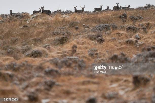 Herd of wild deer at Wicklow Gap, Co. Wicklow, seen in winter weather after much of the country was covered with snow. On Sunday, 24 January in...